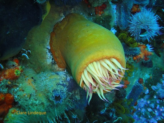 Retracted false plum anemone