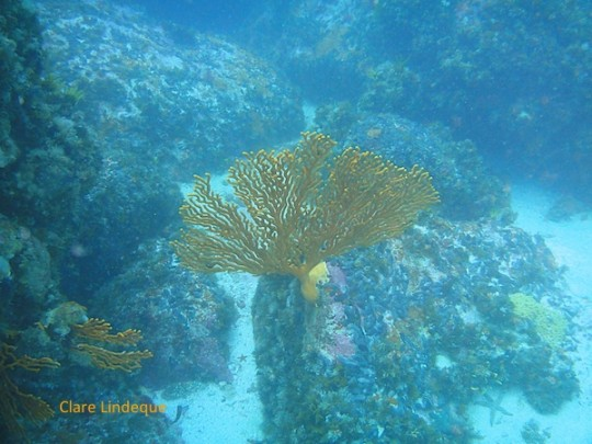Sinuous sea fan near the bottom of the reef