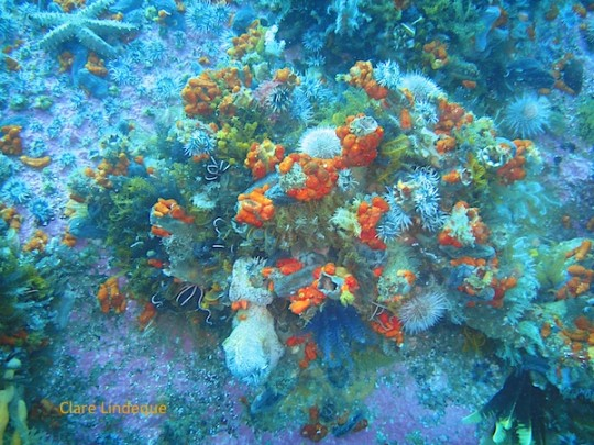 Red chested sea cucumbers