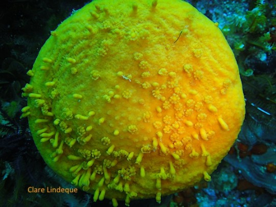 A sunburst soft coral, with most of its polyps retracted
