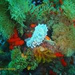 Silvertip nudibranch