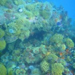 The reef is heavily overgrown with sea fans, bryzoans, corals and invertebrate life
