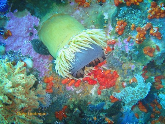 A false plum anemone lunches a compass sea jelly that got caught on the reef
