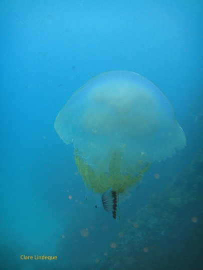 A root-mouthed sea jelly