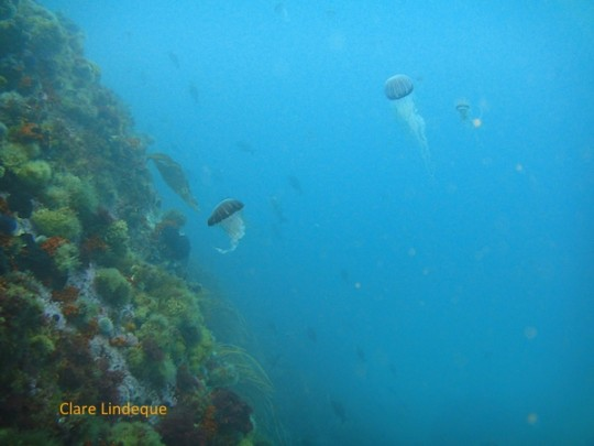 Compass sea jellies passing the reef