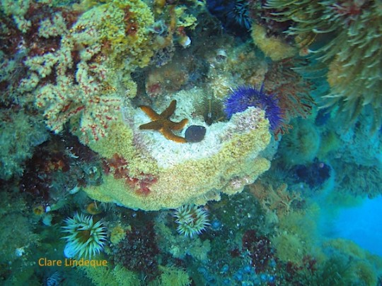 A reticulated sea star resting on some multicoloured sea fans and false coral