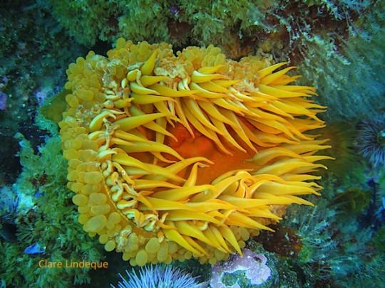 False plum anemone