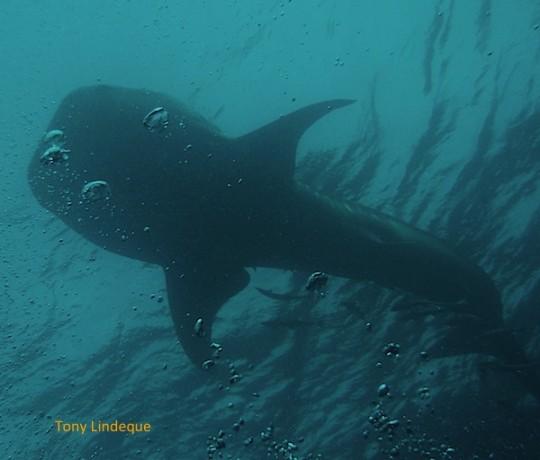 A whale shark photographed at Kev's Ledge off Ponta do Ouro