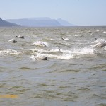 Dolphins in the brown waters of False Bay
