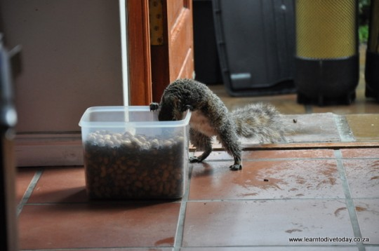 Our resident squirrel feeds at the chum drum