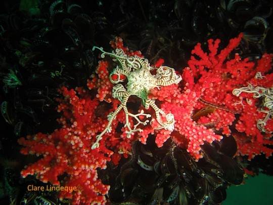 Basket star on the Aster