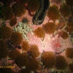 Variable soft coral
