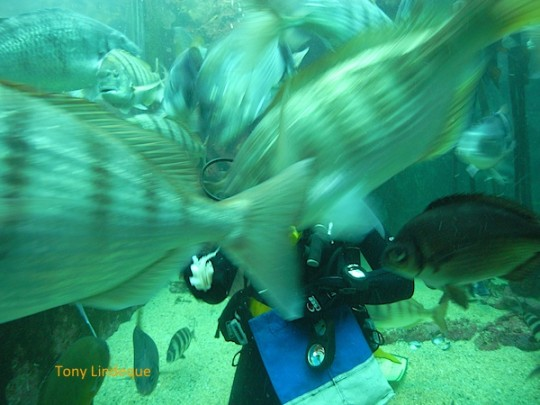 Clare feeding the white steenbras at the Two Oceans Aquarium