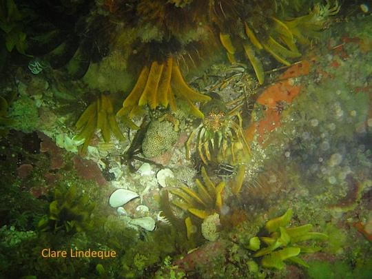 Puffadder shyshark and some lobster friends