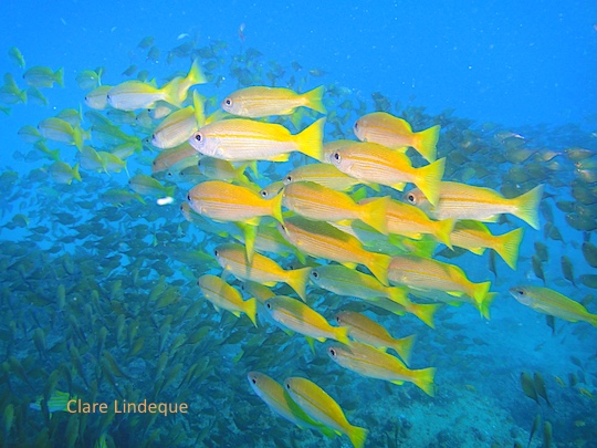 Yellow snapper in southern Mozambique