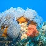 Dominoes hiding in anemones