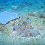 Dominoes and anemonefish