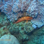 Rock cod resting in the coral
