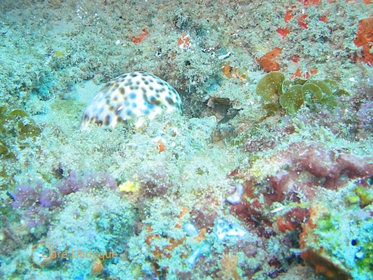 Speckled cowrie shell