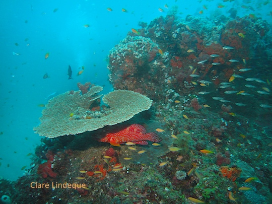 A rock cod hides under some plate coral at Three Sisters