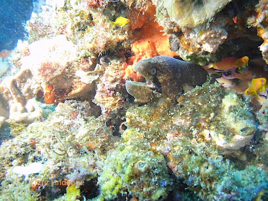 A black cheek moray on the high wall