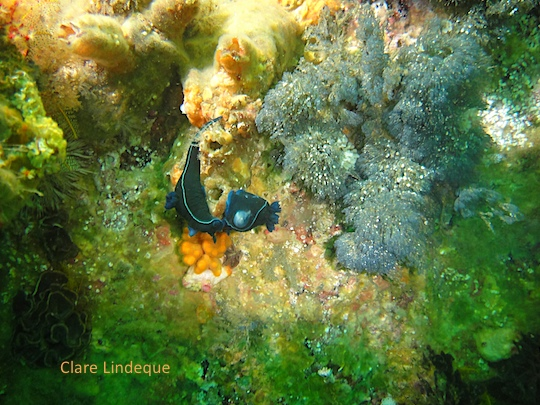 Sea life: Black nudibranch