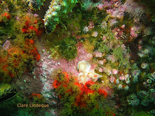 Three fiery nudibranchs (towards the bottom right of the photo)