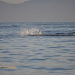 A shark shaking a seal