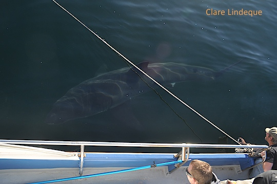 A nearly 5 metre long female white shark next to the boat
