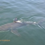 A white shark on the surface
