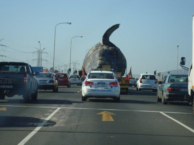 A dead whale on its way down Vanguard Drive to a landfill in Cape Town