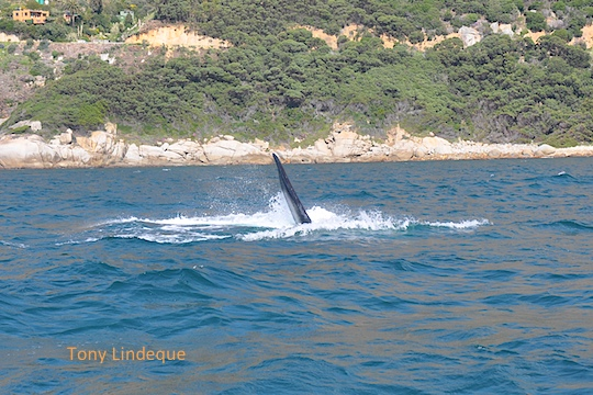 Right whale putting on a show for us