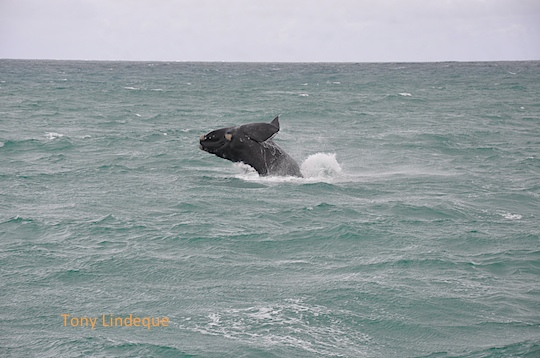 Southern right whale calf breaching