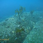 Small stands of kelp at 25 metres