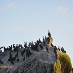 Cormorants on Ark Rock