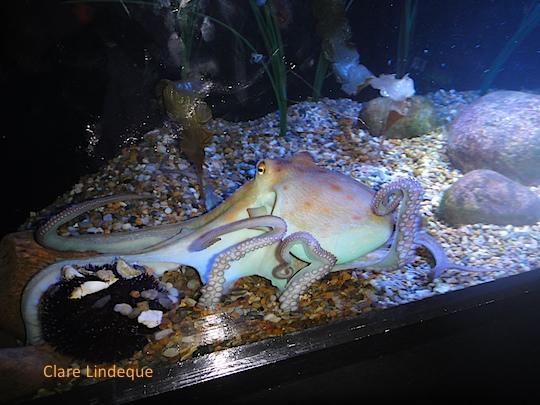 An octopus at the Tivoli aquarium