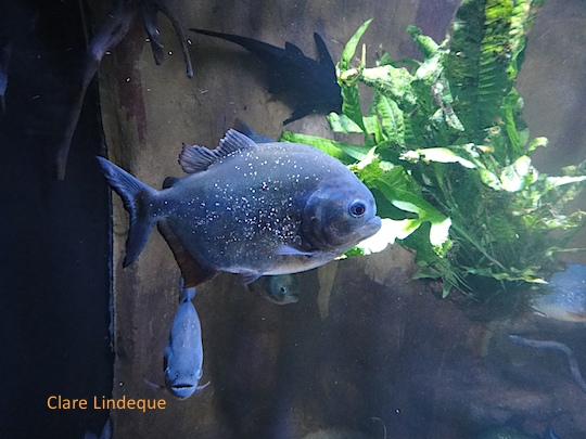A piranha at Tivoli aquarium