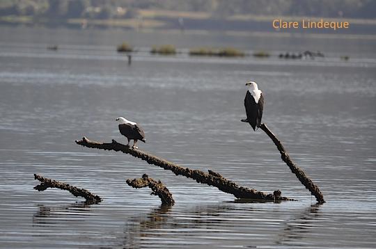 Fish eagle pair on the Knysna lagoon