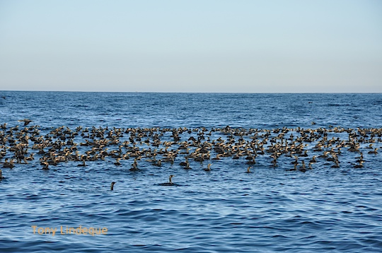 Thousands of cormorants settled on the water