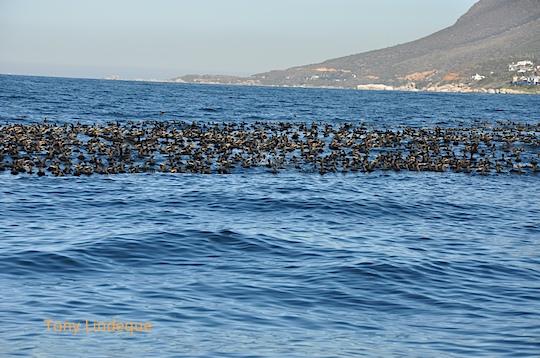 Cormorants en masse