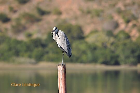 A heron surveys the view