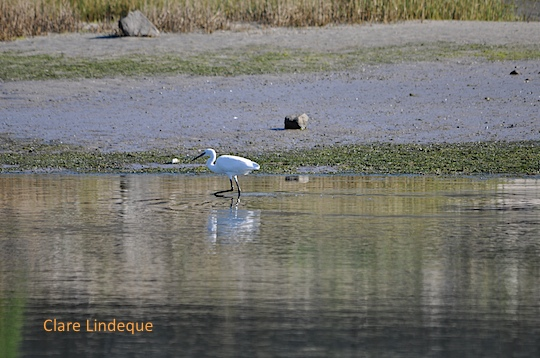 An egret wades for breakfast