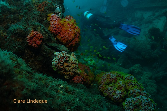 Soft corals on the wreck