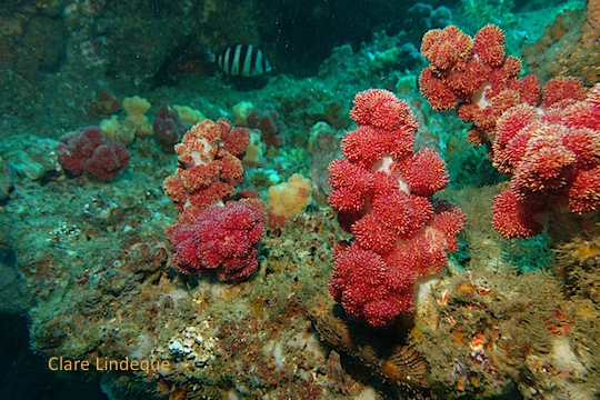 Branching soft corals