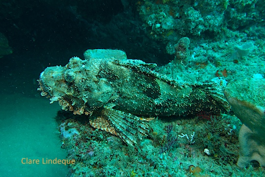 Raggy scorpionfish in repose