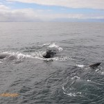 Aggregation of southern right whale adults, milling around