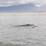 A pair of whales logging off Strandfontein