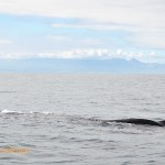 Relaxed whale near Seal island