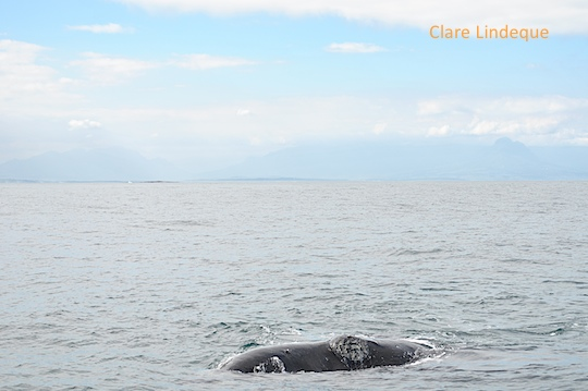 Callosities on this whale's head are clearly visible