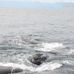 Male southern right whale annoying a female